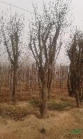 河南地区供应3-50公分木瓜