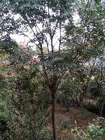 供應黃山欒樹