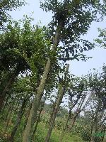 10-20公分移栽樸樹 安徽樸樹  樸樹價格