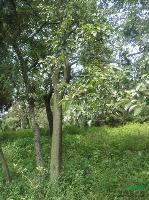 榉树 榉树价格 滁州榉树
