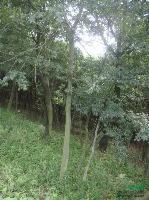 樸樹 安徽樸樹 樸樹價格