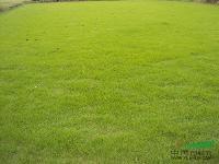 供应湖南草坪、马尼拉草、美国二号