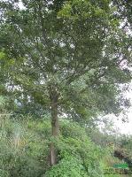 樸樹 安徽樸樹