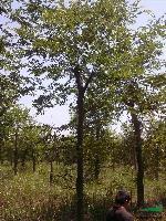 低價出售樸樹,樸樹價格