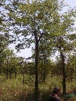 大規格 樸樹 樸樹價格