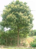丝棉木、皂角,香樟、枇杷、广红白黄(玉兰)丛生朴树,乌桕