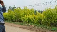 供应彩色树种中华金叶榆、金叶榆树、黄金垂榆