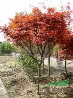 湖南紅楓供應、湖南紅楓價格、紅楓價格、嫁接紅楓價格、紅楓大樹