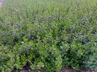 供应优质苗卫矛、卫矛小苗、卫矛球等绿化苗木