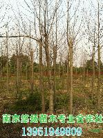 低价马褂木,南京鹅掌楸,杂交马褂木,南京大型马褂木基地