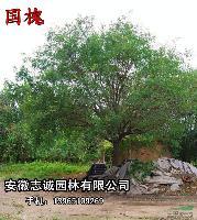 安徽肥西供應:石楠、垂柳、國槐、皂角、紅葉李、枸樹、枇杷