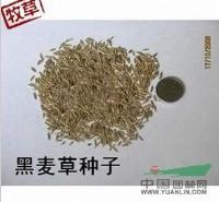 供应进口麦草种子,一年生黑麦草种子,黑麦草种子