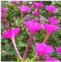 景观花卉种子,紫茉莉种子,名称草茉莉、胭脂花、地雷花