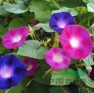 供应出口景观花卉种子,大花牵牛种子
