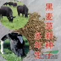 供应进口花卉草种种子,多年生黑麦草种子,草坪型草种
