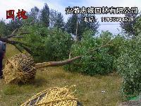安徽供应:国槐、乌桕、黄连木、榔榆、三角枫、丝棉木、杜梨