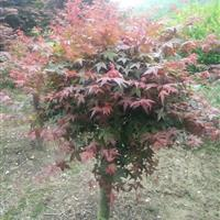 供應日本紅楓