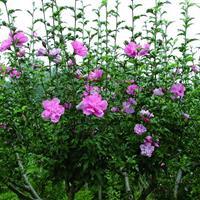 湖南木槿花,木槿树,木槿小苗,丛生木槿,茉莉花树