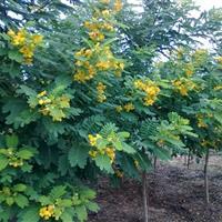 湖南黄花槐树,3-4-5-6-8-10公分黄花槐树价格