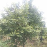 浙江鸡爪槭,精品鸡爪槭