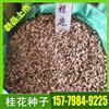 桂花种子 专业种子批发 批发大量桂花种子 和 桂花树