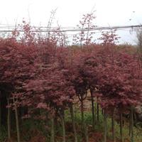 紅楓大樹、高桿嫁接紅楓、紅楓樹苗、嫁接紅楓、移栽紅楓