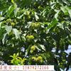 江西*新喜树报价表(图)、九江喜树供应价格、江西喜树批发价格