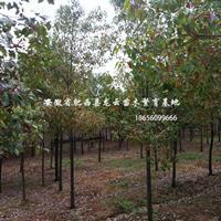 安徽肥西香樟 烏桕 紫薇 大葉女貞 中華石楠 紅葉石楠供應商