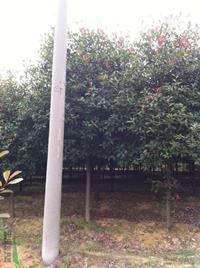 红叶石楠,安徽红叶石楠