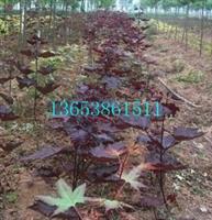 紫叶挪威槭供应商|河南紫叶挪威槭|驻马店红国王挪威槭|国王枫