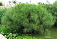 水生植物纸莎草--信息发布