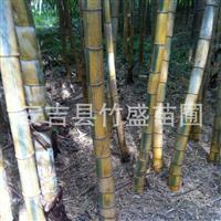 安吉县竹盛苗圃供应绿槽毛竹等近百种观赏竹