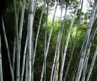 安吉县竹盛苗圃供应粉单竹等近百种观赏竹苗