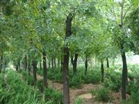 櫸樹供應,櫸樹價格,江蘇櫸樹