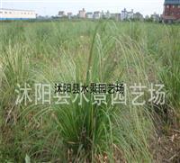 江苏矮蒲苇,矮蒲苇供应,矮蒲苇价格 蒲苇批发 水生植物