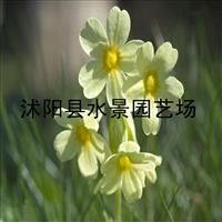 江苏报春花,报春花价格,报春花供应报春花批发