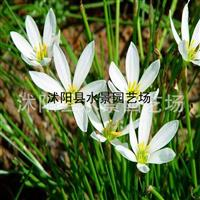 江苏葱兰,马兰 韭兰 春兰 蝴蝶兰 大量批发草花