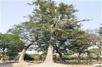 移栽朴树、榆树 朴树图片信息 榆树价格