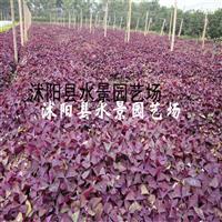 紫叶酢浆草,紫叶酢浆草价格,紫叶酢浆草供应