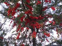红豆杉 红豆杉小苗 浙江红豆杉信息