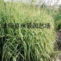水景园艺诚销】大量低价供应各种玉带草(欢迎来电咨询