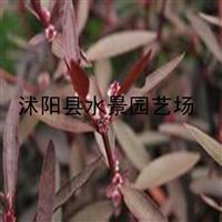 供应各种水生植物 红莲子草 水葫芦草 编织草 草