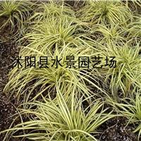 大量各种地被植物――金叶苔草