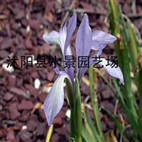 供应各种水生植物 马蔺(别名马莲、马兰、马韭、旱蒲、荔草)