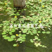 直销水生植物 荇菜 【荷花,睡莲,水芹】水生植物批发