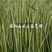 供应水生植物 花叶菖蒲 (石菖蒲、水菖蒲、花叶菖蒲)