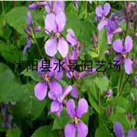 供应水生植物和地被 二月兰 (别名诸葛菜、菜子花)