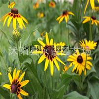 黑心菊,黑心菊供应,黑心菊价格,黑心菊图片