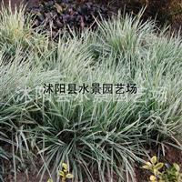 花叶燕麦草,花叶燕麦草价格,花叶燕麦草图片