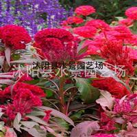 江苏鸡冠花,鸡冠花价格,鸡冠花图片,鸡冠花供应 鸡冠花种子